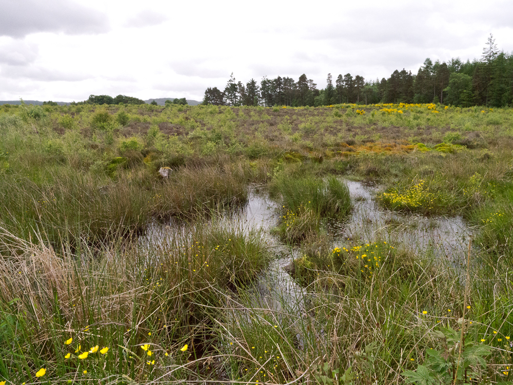 Boggy terrain at Culloden Battlefield